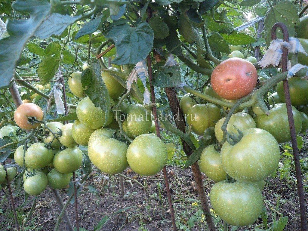 помидоры пинк буш ф1 фото куста