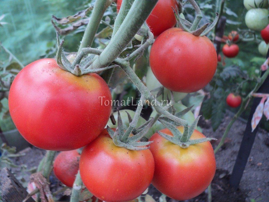 помидоры Президент фото