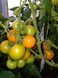 помидоры Жар птица
