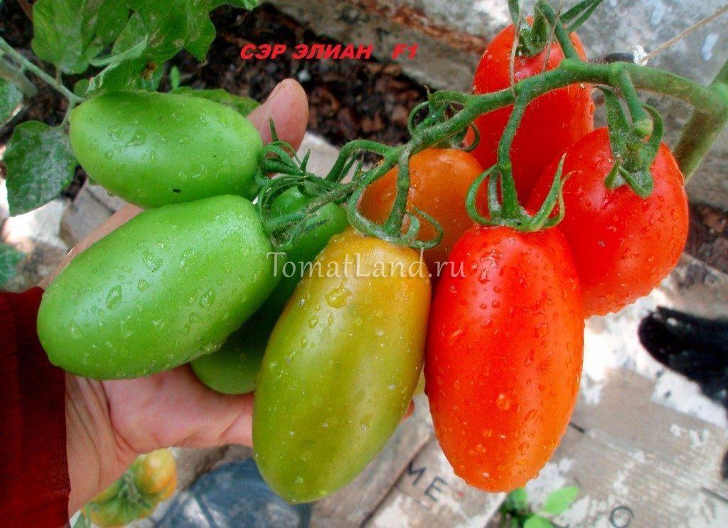 томат Сэр Элиан f1 фото спелых плодов