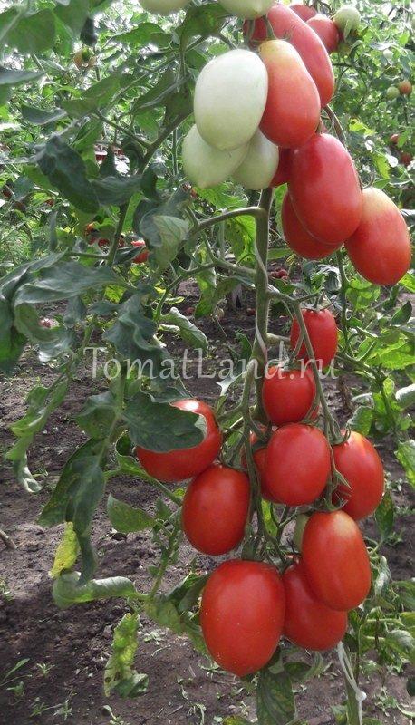 Помидоры. Выращивание томатов. Сорта и рассада 99