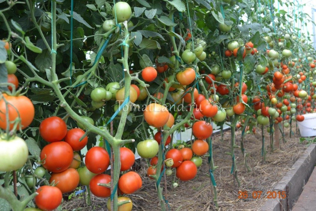 помидоры Ля-ля-фа фото куста