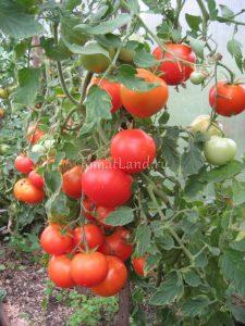 помидоры Зазимок фото