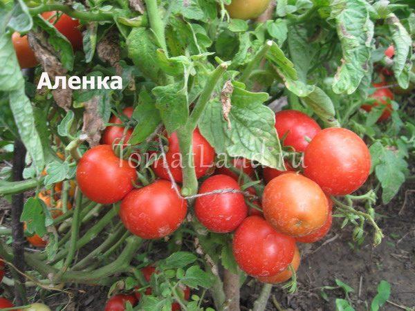 помидоры Аленка фото куста