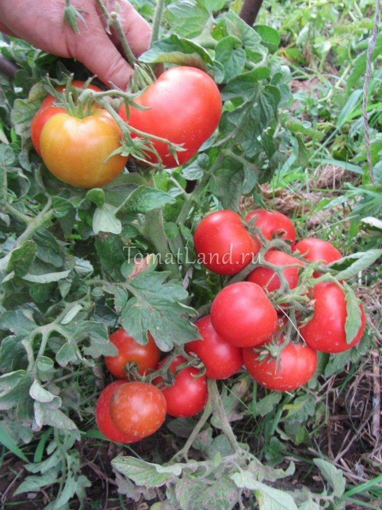Помидоры. Выращивание томатов. Сорта и рассада 100