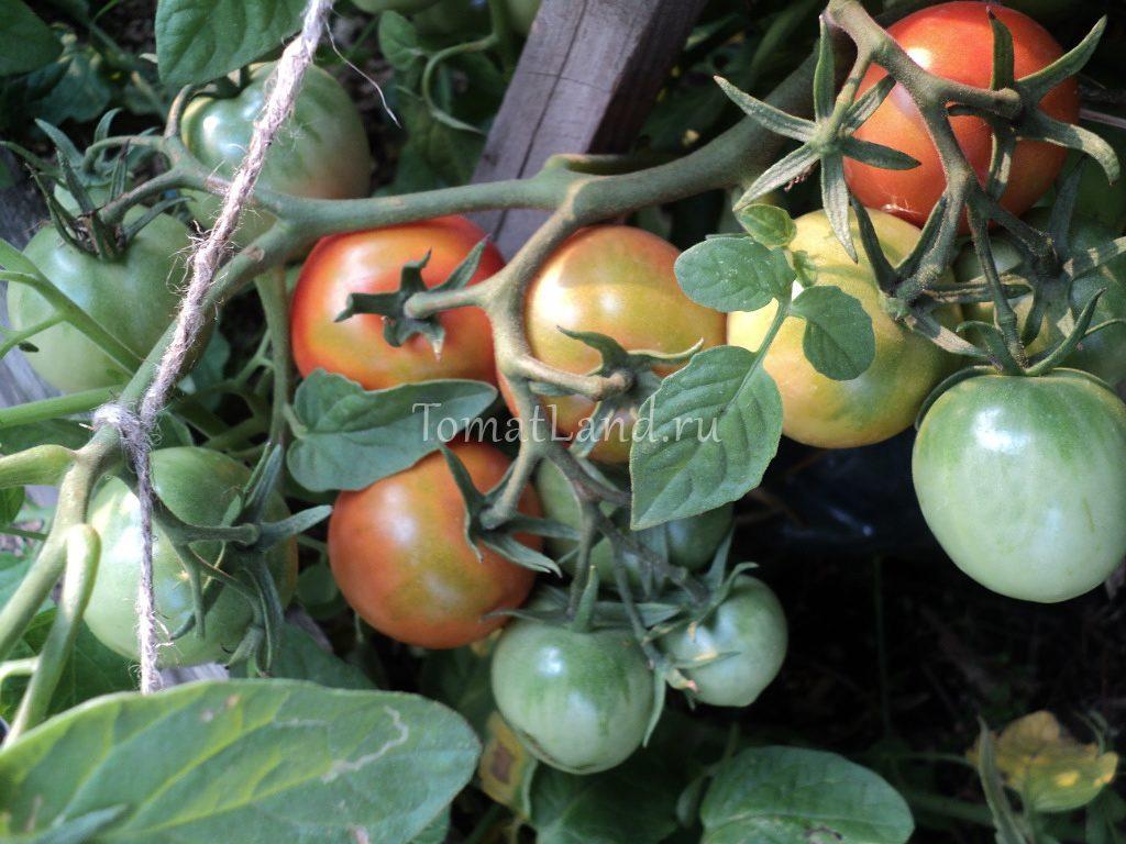 томат Барнаульский консервный фото куста
