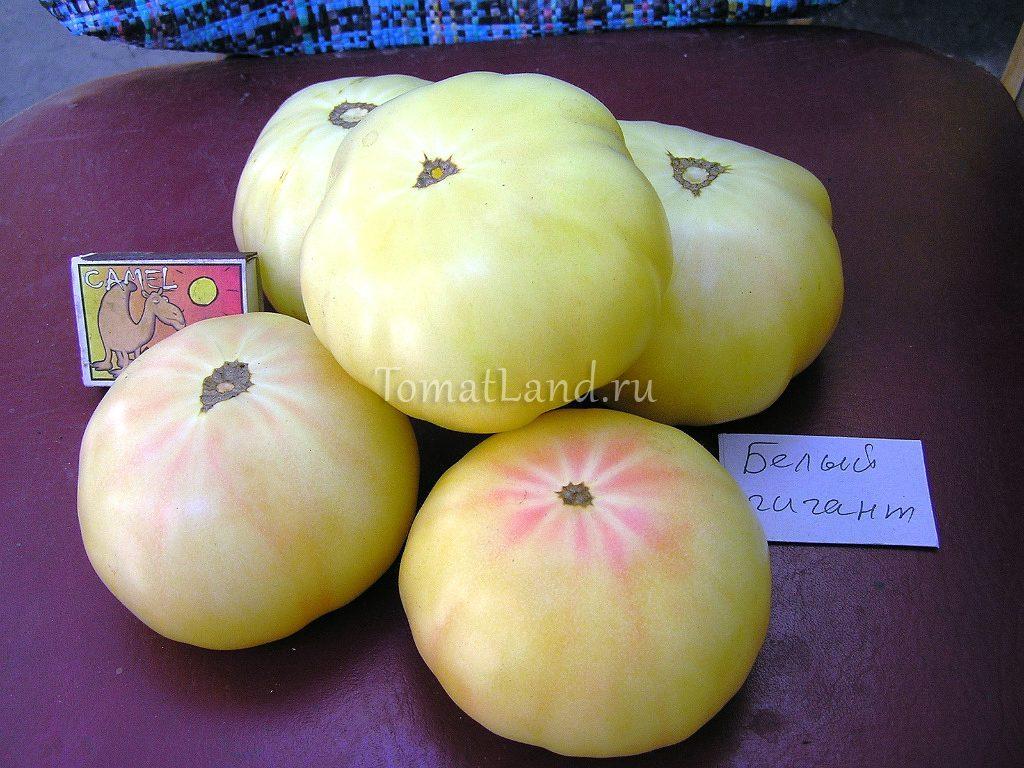 томат белый гигант фото