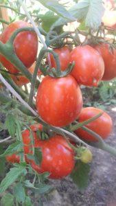 томат даренка фото