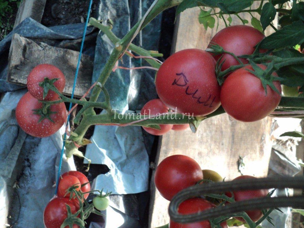 томат Димероза f1