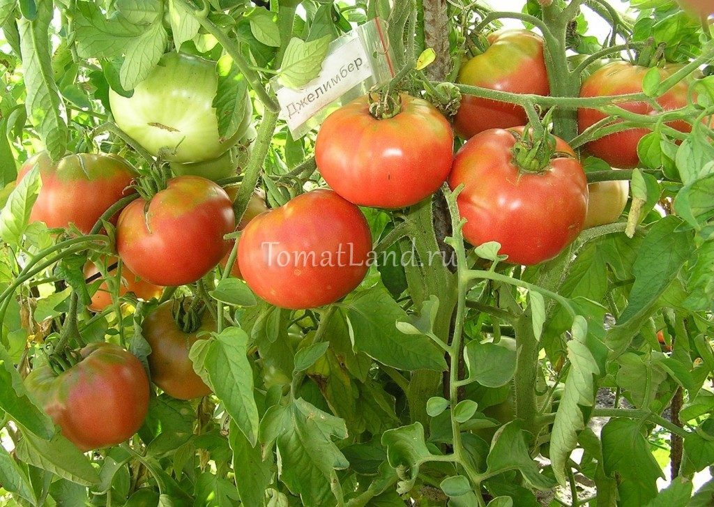 помидоры Джелимбер фото куста