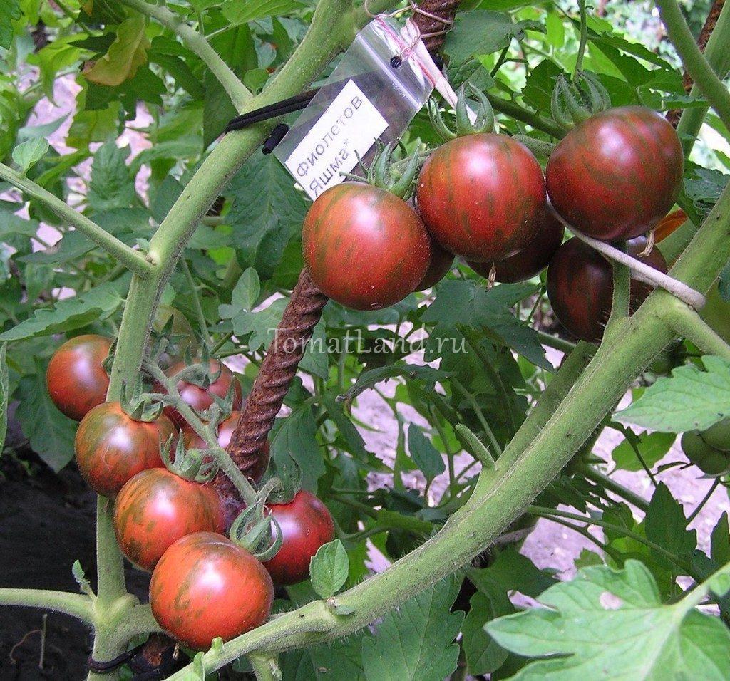 помидоры фиолетовая яшма фото куста