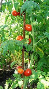 томат Голубая ель отзывы