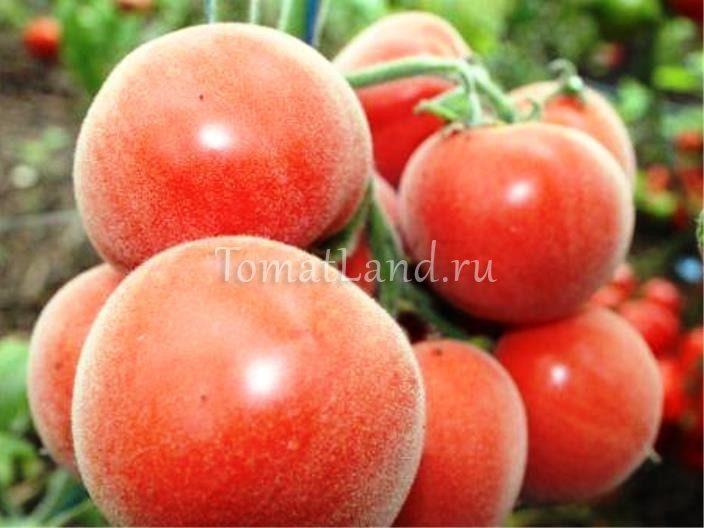 помидоры голубая ель фото