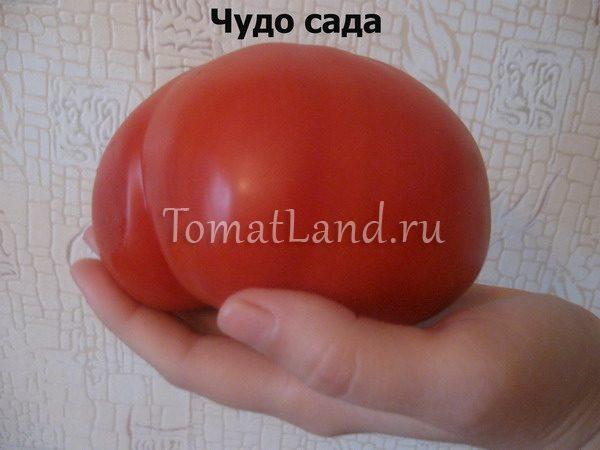 помидоры чудо сада фото