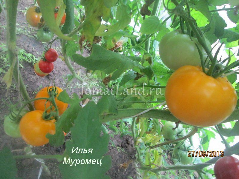 помидоры Илья Муромец фото куста