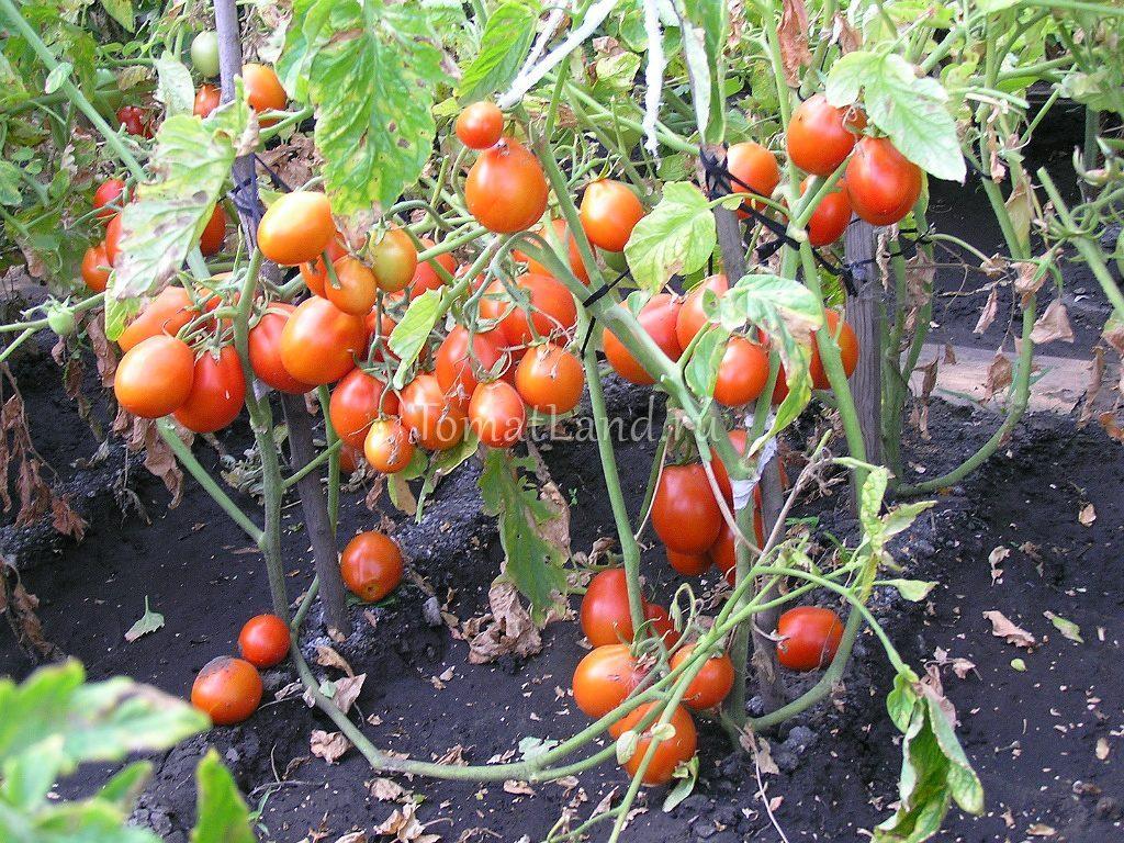 томат кмициц