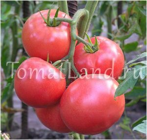 томат сорт корнеевский