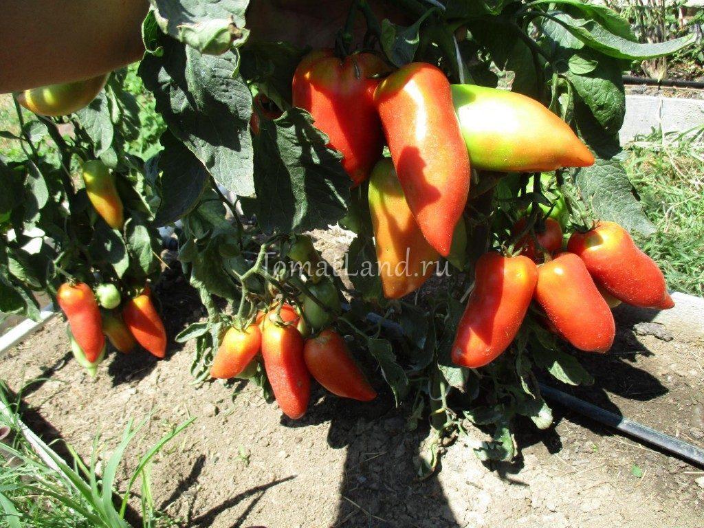 помидоры Корнабель f1 фото спелых плодов