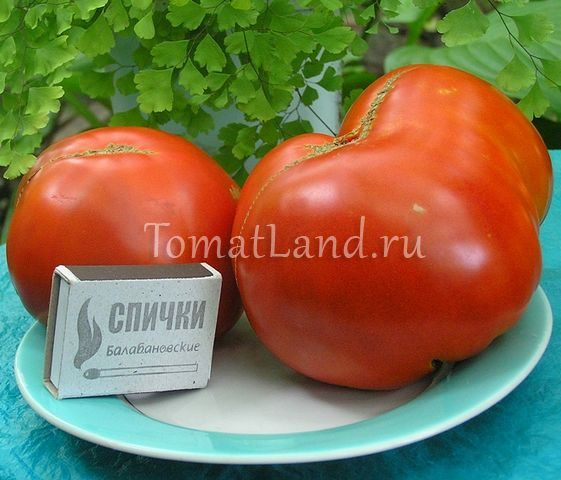 помидоры Кума фото спелых плодов