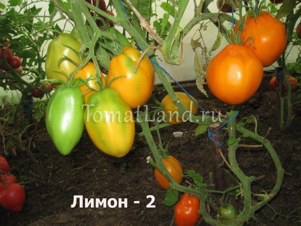 томат лимон-2 фото