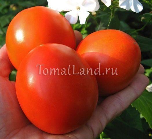 помидоры лорд фото спелых плодов
