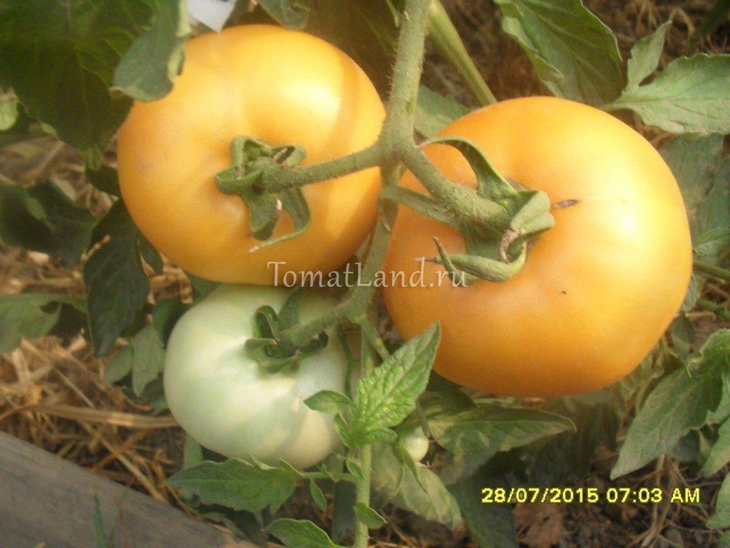 помидоры сорт медово-сахарный фото