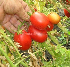 помидоры сорт Миколка