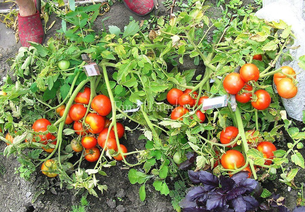 помидоры сорт Персей фото