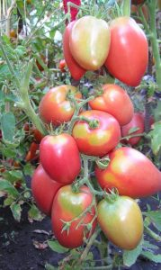 томат розовая стелла