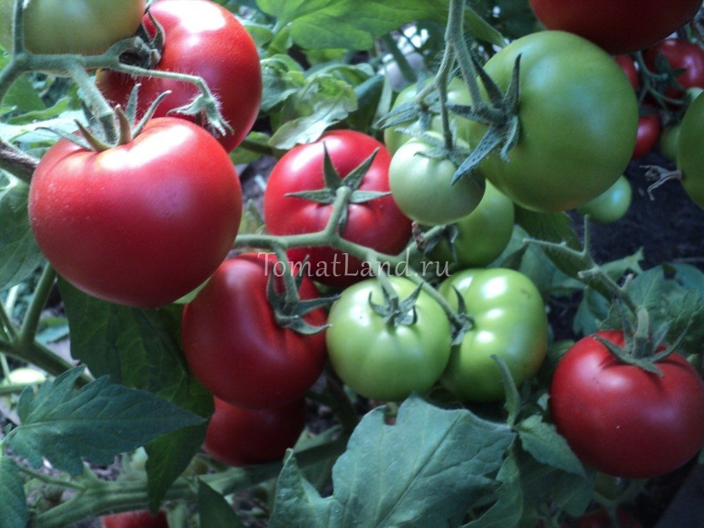 томат Садин F1 фото спелых плодов