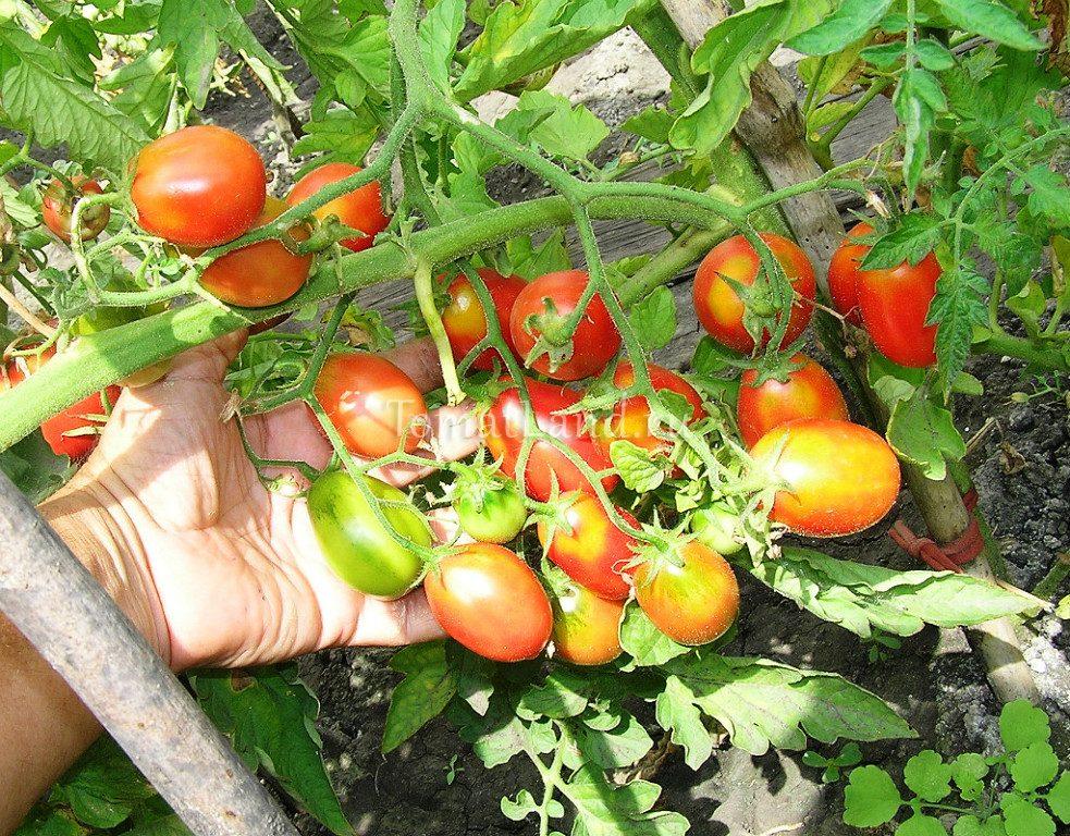 помидоры Сахарная слива фото куста