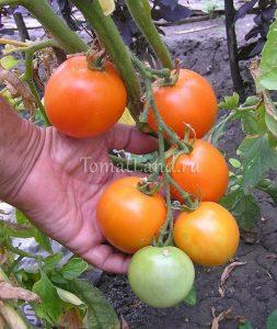 томат санька золотой
