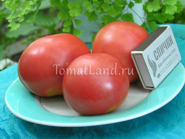 помидоры Симпатяга фото спелых плодов