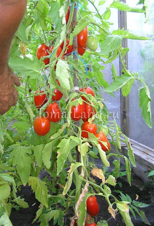 Подарок сибири помидоры 72