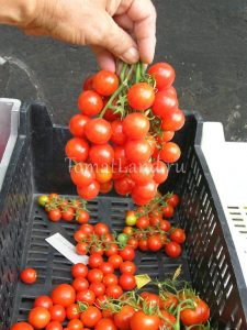 томаты сорт Вишенка