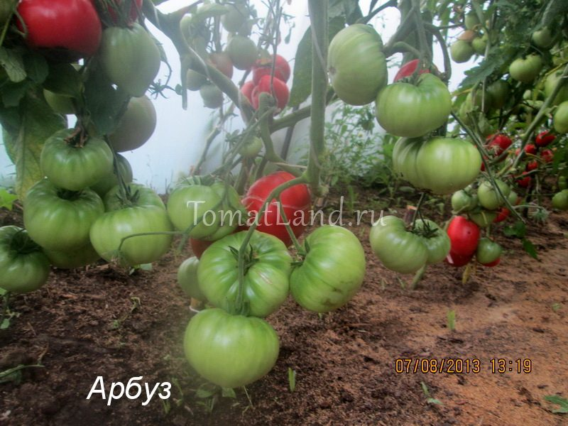 томат Арбуз фото куста