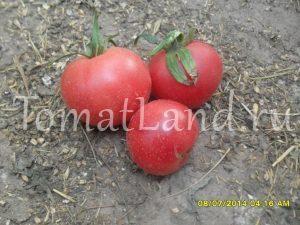 томат бархатный пижон