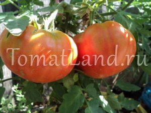 томат бердский крупный