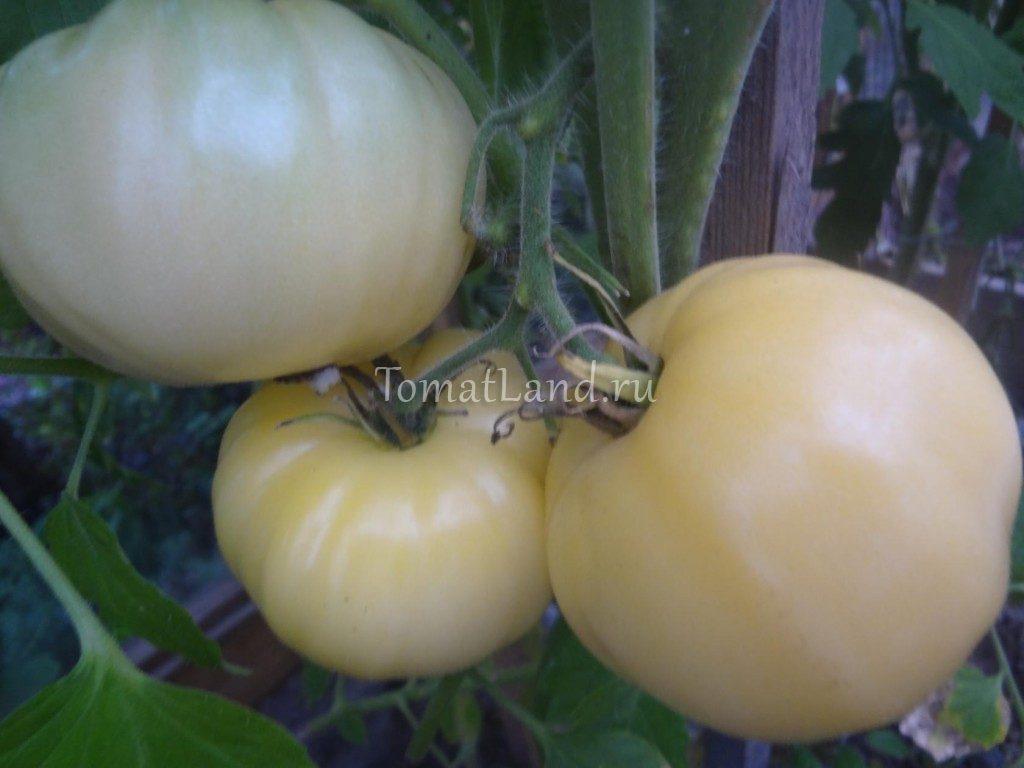томат большой белый бифштекс