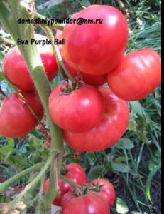 томат Ева пурпур