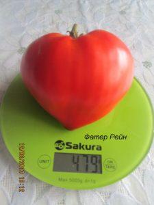 томат фатер рейн