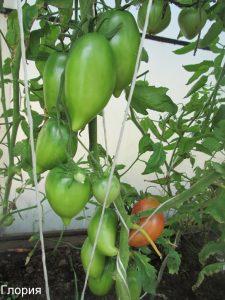 помидоры Глория