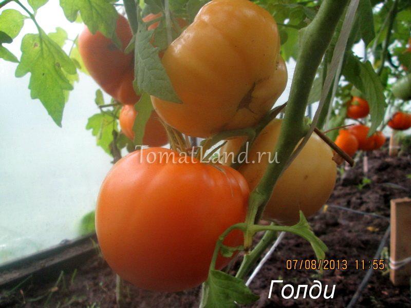 помидоры Голди фото спелых плодов