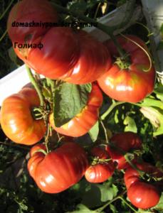 помидоры сорт Голиаф