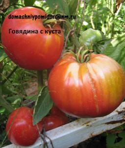 томат говядина с куста