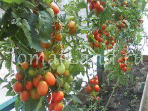 томат гроздевой f1