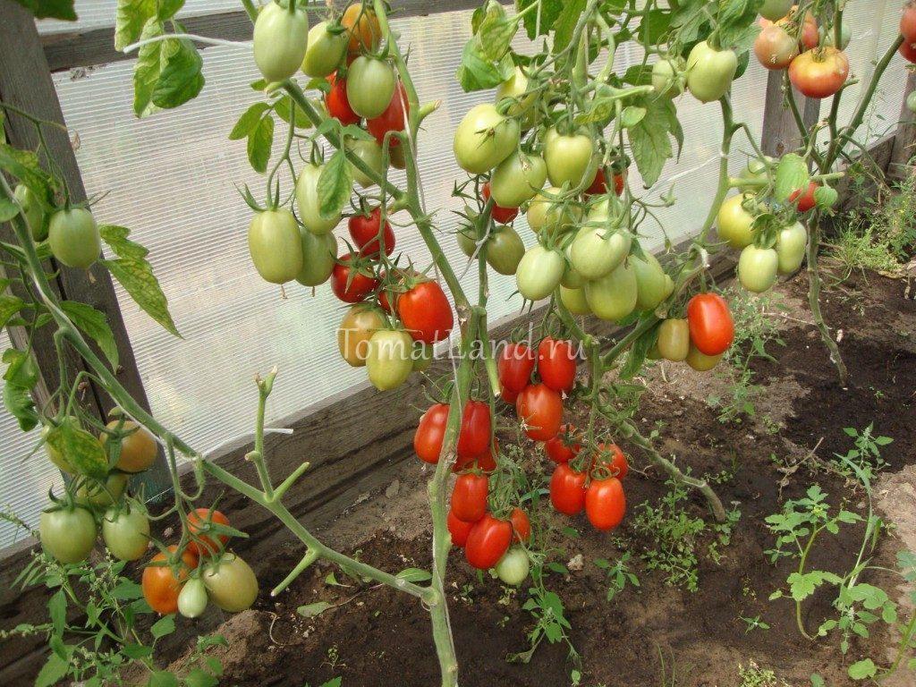 помидоры Гулливер фото куста