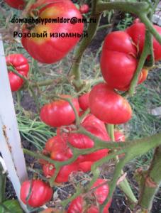 томат розовый изюмный