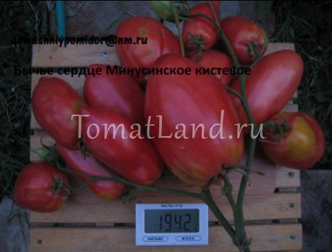 томат бычье сердце минусинское кистевое