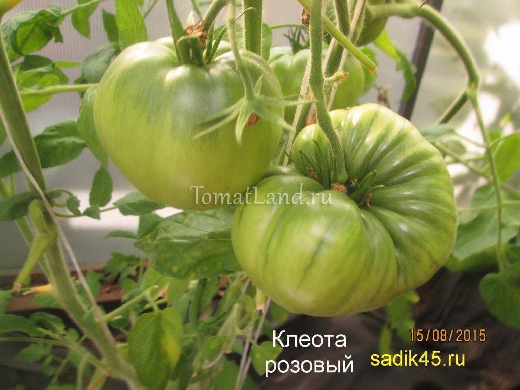 помидоры Клеота розовая